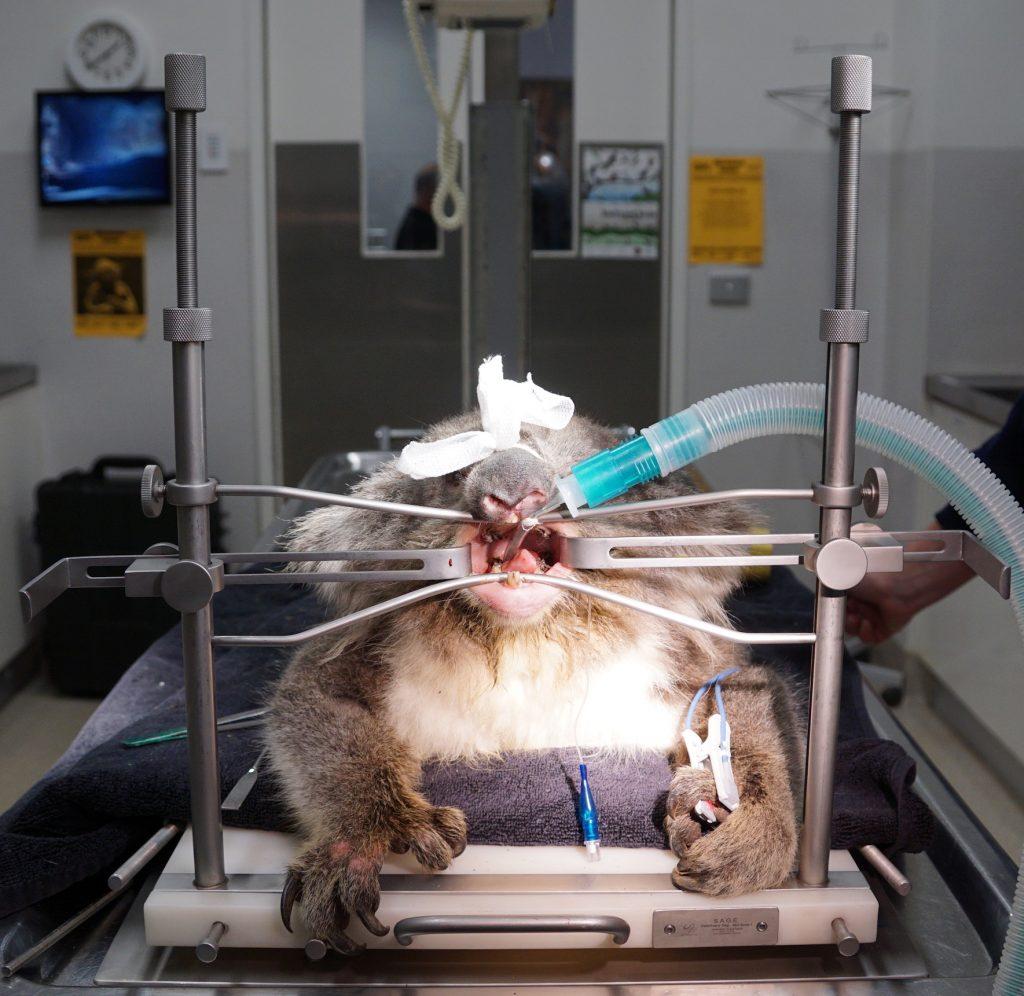 Koala Dental